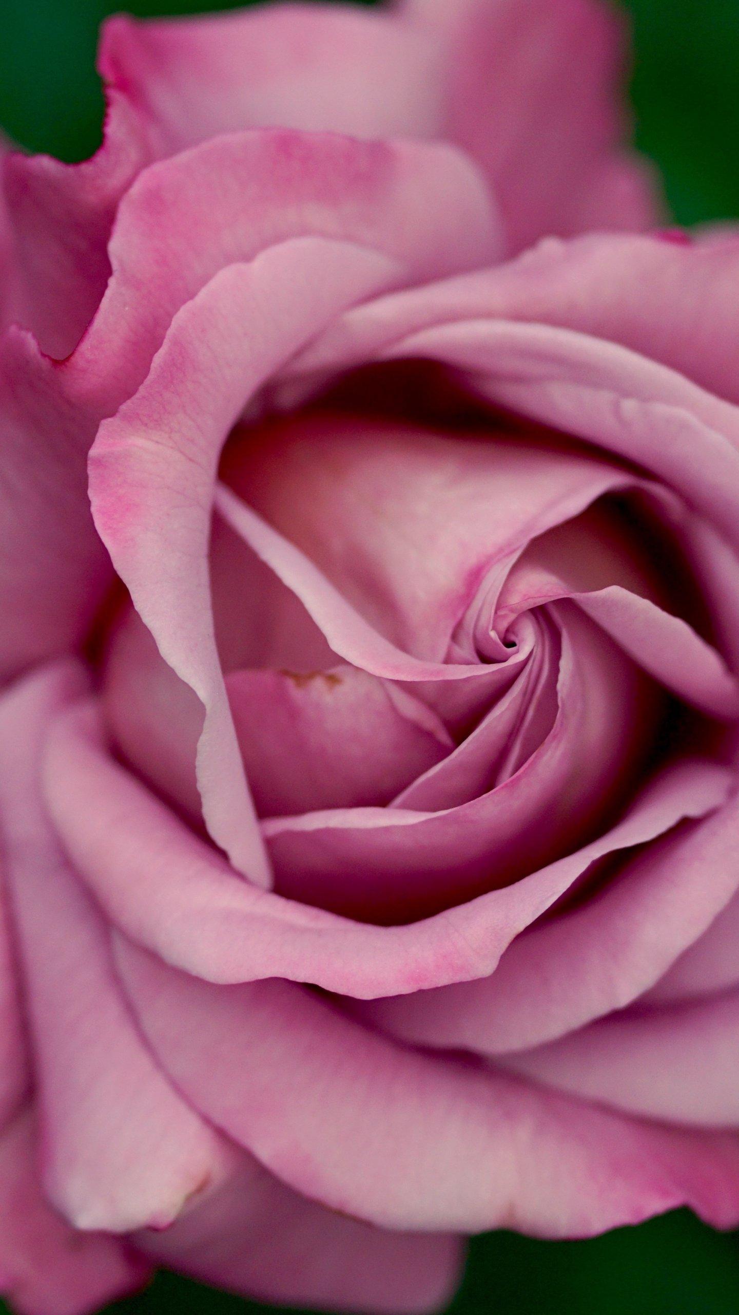 Dusty Pink Rose Wallpaper