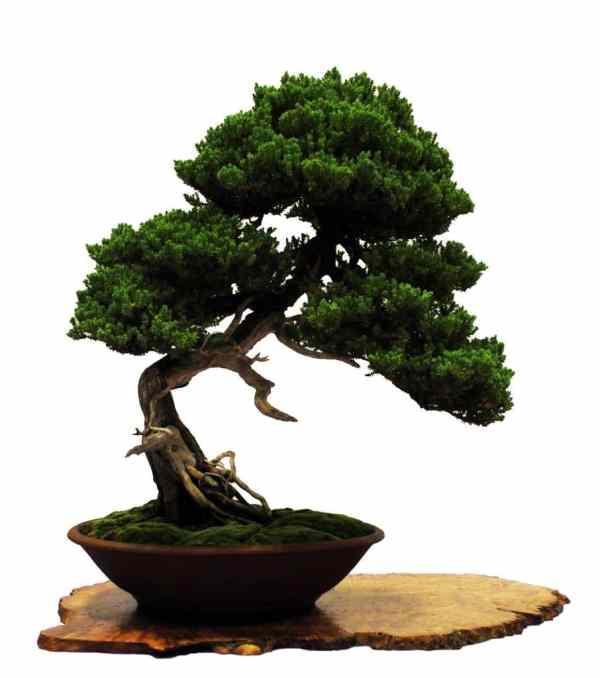 bonsai enebro
