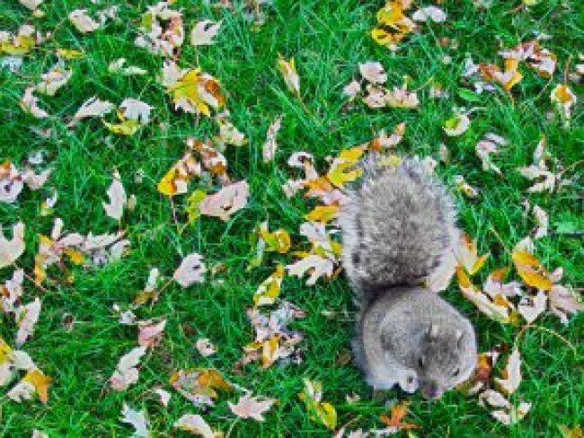 Eichhörnchen, Tierfotografie, Squirrel, Ecureil, Eichkätzchen, Herbst, Blätter, Wiese, Gras, Rasen, Tiere, Fotografie, free stock, images, license free, lizenzfreie fotos