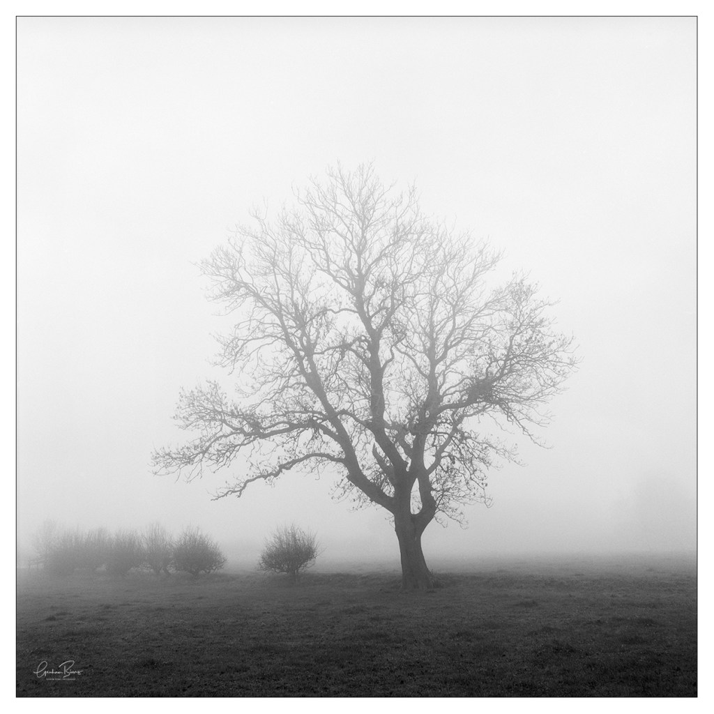 Towering, Wellands Lane Foggy Tree in Scholes, Cleckheaton West Yorkshire