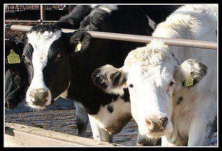 diary cows