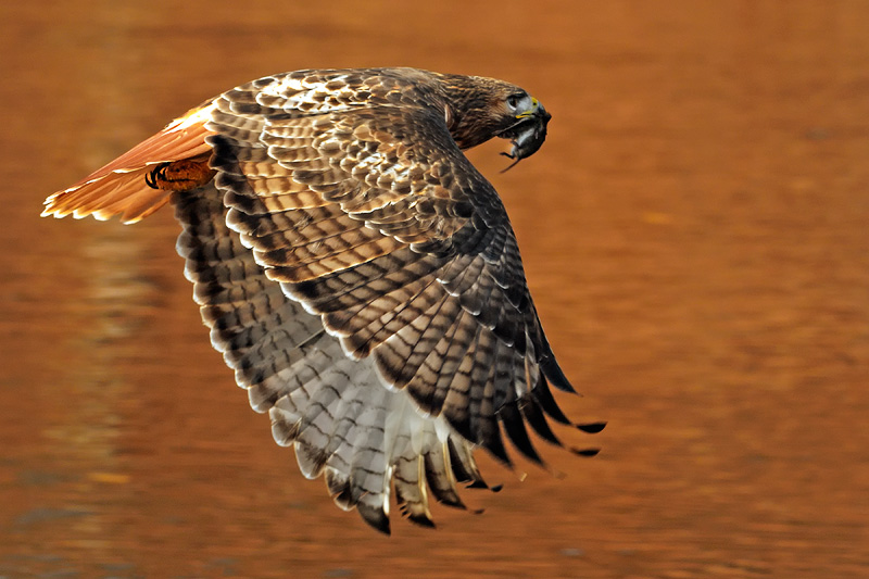 Upstate New York Fall Hd Wallpaper Hawk Photography Red Tailed Red Shouldered And Sharp