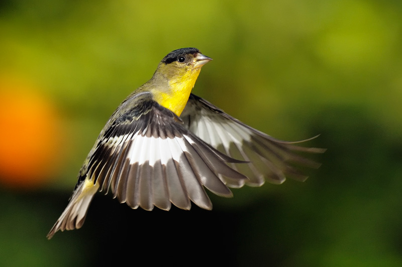 Upstate New York Fall Hd Wallpaper Goldfinch House Finch And Other Small Song Bird Photography
