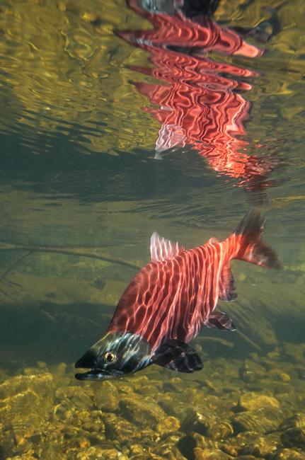 Eastern Sierra Kokanee Salmon Fly Fishing And Photography