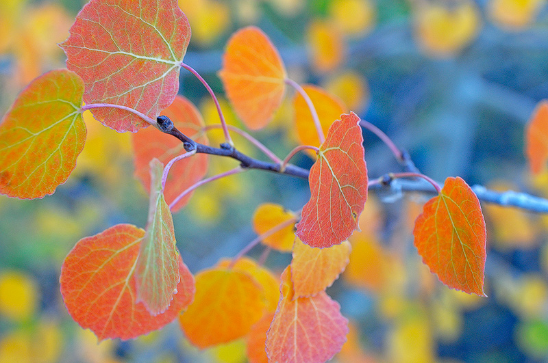 Birch Tree Fall Wallpaper Close Up California Eastern Sierra Fall Foliage Color Photography