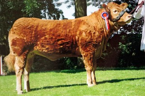 Grahams Butterfly - Limousin Champion and Reserve Interbreed Champion - Royal Highland Show 2007