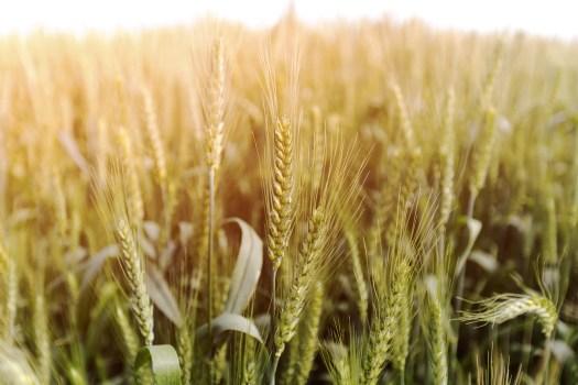 A highly adaptable grain