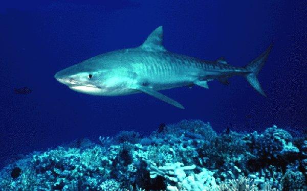 S Actualites Buzz Buzz Un Requin Tigre Tente De Manger Une Jambe