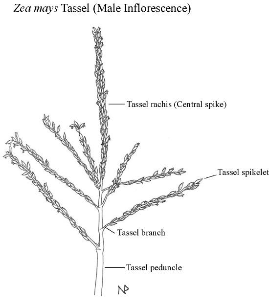 Rice Kernel Diagram Spinal Discs Diagram ~ Elsavadorla
