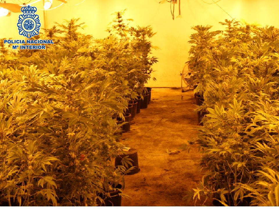 300 plantas de marihuana