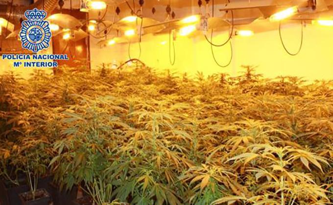 planta-marihuana-zona-norte
