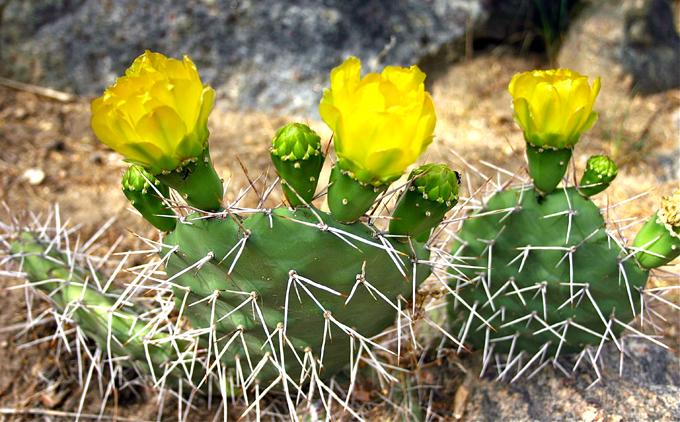 cactus_fleur