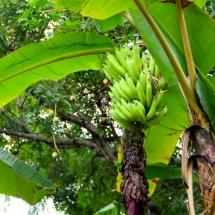 cacao_bananes