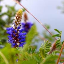 cotacachi_fleur