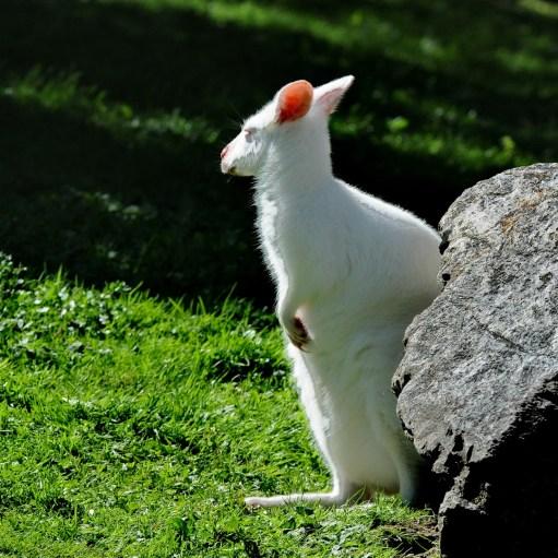 Kangourou blanc
