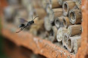 hymenopteres_isodontia_mexicana_ga