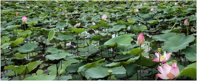 fleur de lotus 14.14.9