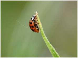 Marie_Odile_Birault_GA_Site_Insectes_Coccinelle_001