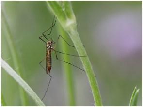 Marie_Odile_Birault_GA_Site_Insectes_Tipule_001