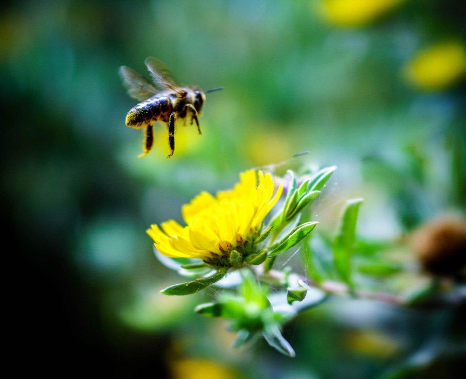 honeybee hovers over yellow daisy-like flower