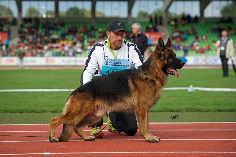 VA1 Gary vom Hühnegrab, a sieger show, is one of the most impressive german shepherds you could hope to own and his puppies are very sought after.