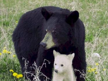 albino bear