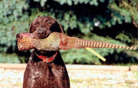 pheasant dog