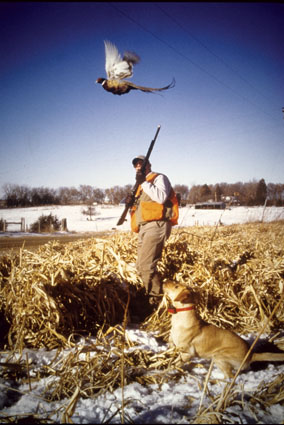 pheasant dog training