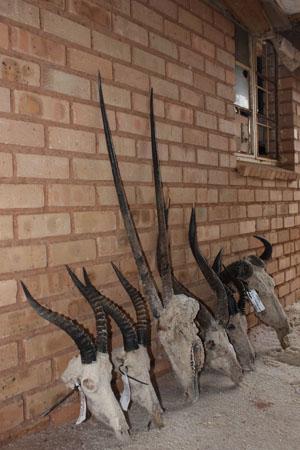 africa taxidermy