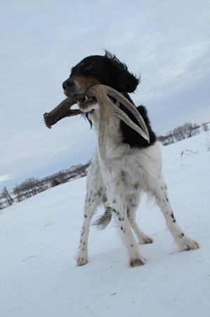 shed hunting dog