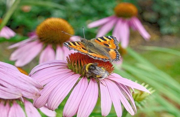 Butterfly And Bee Attracting Flowers For Your Garden
