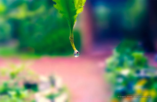Water Drops From Winged Bean Background