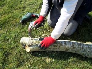 pluggen met mycelium in populier boomstam slaan