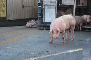 ongeval varkens Kortrijk - foto via Nieuwsblad.be