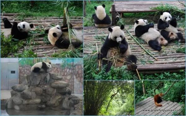 Panda-monium in Chengdu.