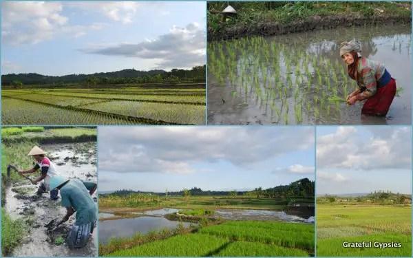Yogyakarta rice fields.