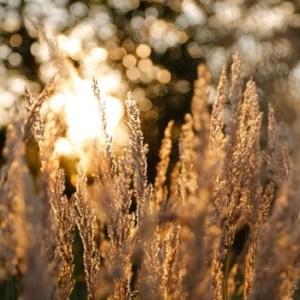 grasses-383896_640