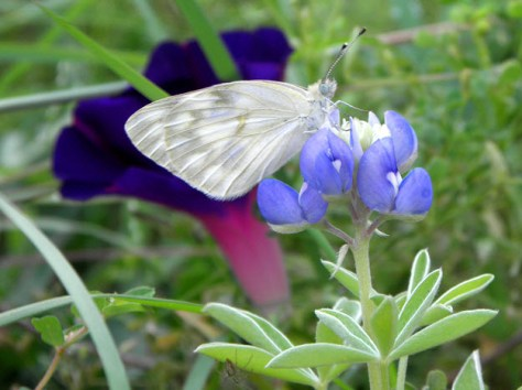Butterfly and Bluebonnet
