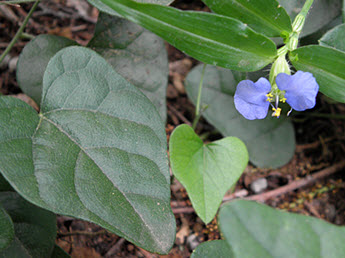 Vine and Dayflower