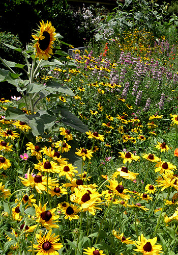 Sunflowers, gloriosa daisies and horsemint in the front yard