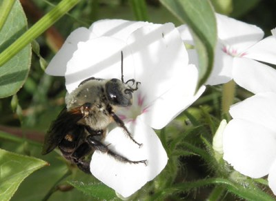 Native Bee on Annual Phlox