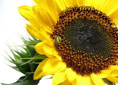 Sweat Bee on Wild Sunflower