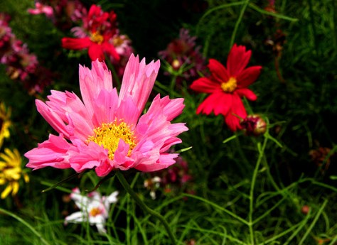 Seashell cosmos  are planted on the back row along with sunflowers.