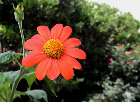 A Mexican sunflower,  now 5 feet tall, blooms in a small bed next to the front porch trellis.
