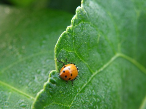 The pea patch is popular with lady beetles. Not only are they beneficial, they're pretty darn cute!