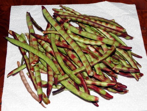 It isn't necessary to wait until the hulls are totally purple to pick the peas; pods that have developed purple stripes are ripe enough and easy to shell.