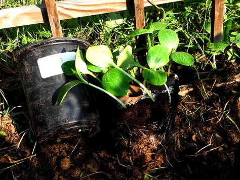 Buttercup squash seedlings root ball