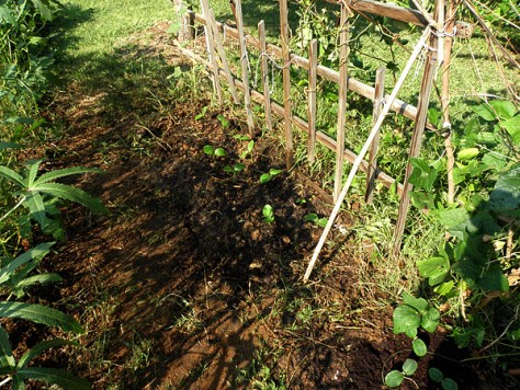 Buttercup squash seedlings transplanted next to trellis 3.