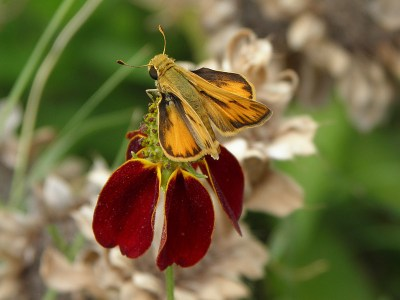 Row four of the wildflower garden: the few remaining Mexican Hats are still attracting visitors, including this skipper butterfly.