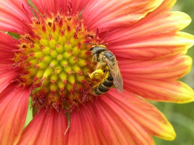 Another late-summer survivor, the blanket flowers continue to provide nectar and pollen for native bees.